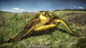 """Grazing Turtle"" part of my Underwater Surrealism body of... by Conor Culver"