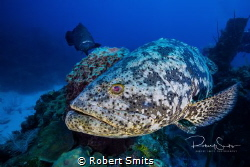 Did you know that The Atlantic goliath grouper or itajara... by Robert Smits