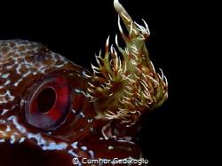 Parablennius gattorugine The eye & branched head tentacles by Cumhur Gedikoglu