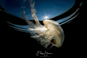 Compass jellyfish(Chrysaora hysoscella), Zeeland, The Net... by Filip Staes
