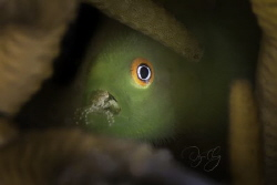 A bearded goby with a tiny crab in its mouth which stayed... by Joyce Chang