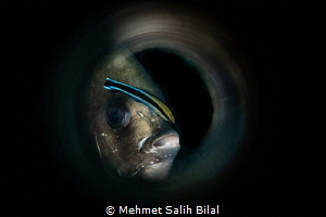Batfish cleaning  through the key hole. by Mehmet Salih Bilal