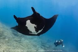 Black Manta Fenix gliding overhead for his bubble bath by Nick Polanszky