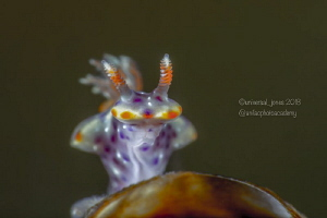 Ceratosoma sp. (very tiny)