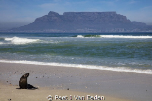 Marooned Baby seal far away from its colony. Most likely... by Peet J Van Eeden