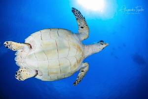 Turtle with the Sun, San Pedro Belize by Alejandro Topete