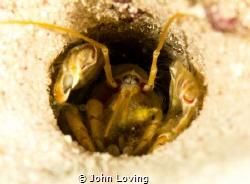 ghost shrimp by John Loving