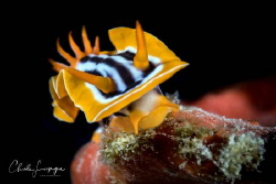 Nudibranchia by Claude Lespagne