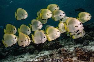 Albino batfish shoal. by Mehmet Salih Bilal