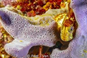 Goby peeping out of its sponge home at a depth of 30 m by Peet J Van Eeden
