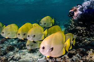Playing with batfish shoal. by Mehmet Salih Bilal