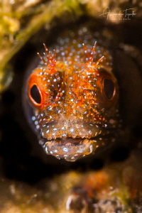 Blenny in Green, La Paz México by Alejandro Topete