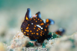 Juvenile Clown Frogfish shot with f/2.8 to create a nice ... by Daniel Geary