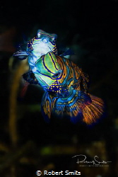 Did you know that Mandarin fish only reproduce around sun... by Robert Smits