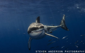 This Great White Shark reminded me of Bruce in Nemo ........ by Steven Anderson