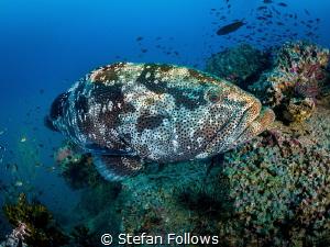 Guess who's back? ...   Malabar Grouper - Epinephelus m... by Stefan Follows