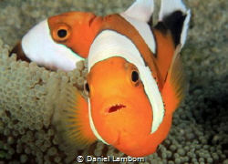 Saddleback Anemonefish fearlessly protecting their anemone. by Daniel Lamborn