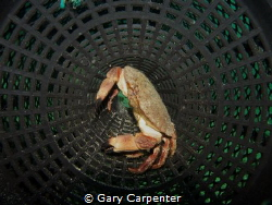 Edible crab on shrimp pot - Picture taken in Bantry Bay, ... by Gary Carpenter