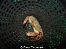 Edible crab on shrimp pot - Picture taken in Bantry Bay, ... by Gary Carpenter