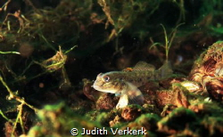Tadpole in dutch fresh water. by Judith Verkerk
