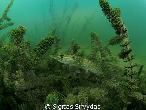 Pike by Sigitas Sirvydas