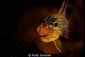 Male cardinalfish brooding eggs by Rudy Janssen