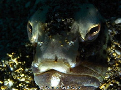 Trachinus radiatus