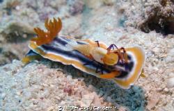 Sea Slug and Emperor Shrimp by Nilüfer Aksu Candemir