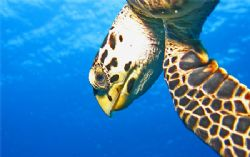 An extremely friendly turtle in Cozumel. Canon SD550. by Paul Holota