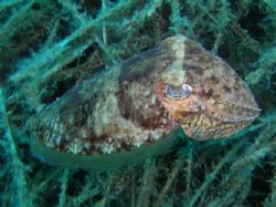 Common cuttle fish by Hakan Taslicay