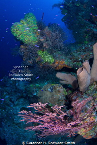 """The Most Beautiful Reef #2"" - Gorgeous, colourful corals... by Susannah H. Snowden-Smith"