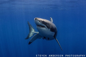 There was something that caught this Great Whites attenti... by Steven Anderson