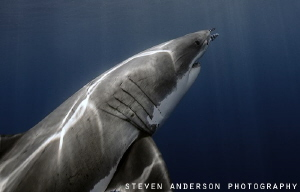 Ascending from the deep ... They like to ambush when hunt... by Steven Anderson