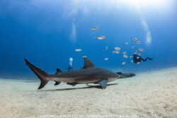 Bull Shark at Cabo Pulmo by Nick Polanszky