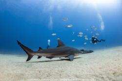 Bull Shark at Cabo Pulmo by Nick Polanszky