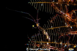 Skeleton Shrimp!!! by George Touliatos