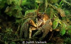 Crab Boschmolenplas Panheel by Judith Verkerk