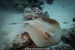 Blue Spotted Ray f4, 1/320 Sony RX100, Sea Dragon 2300 by Carlos Manuel Chamorro Perez