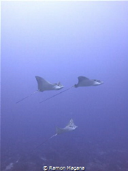 """Eagle rays """"flying by"""" picture take with a canon g15 by Ramon Magana"""