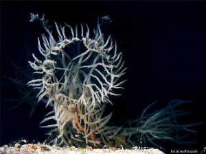 Nudibranch Melibe Colomani by Iyad Suleyman