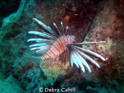 LION FISH MARMARIS TURKEY by Debra Cahill