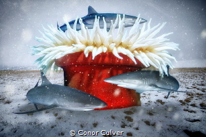 """Winter Tree"" sharks are under threat and need our protec... by Conor Culver"