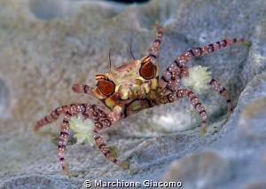 Box crab Lembeh strait. Indonesia. Nikon D800E , 105 ma... by Marchione Giacomo