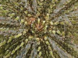 Sea urchine, zeeappel, psamechius miliaris by Eduard Bello