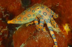 Bluering Octopus.D70,60mm. Taken at Kapalai by Frankie Tsen