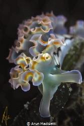 Lettuce seaslug by Arun Madisetti