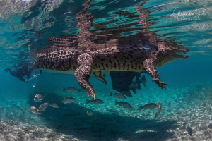 Cocodrile with a Snorkel, Gardens of the Queen Cuba by Alejandro Topete