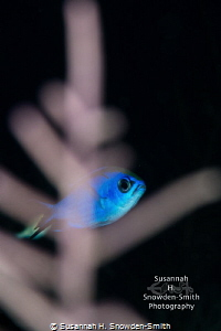 """""""Peek-A-Blue"""" - A blue chromis peers out from behind a go... by Susannah H. Snowden-Smith"""