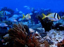 Movin On! These Porkfish make there way across one of Coz... by Steven Anderson