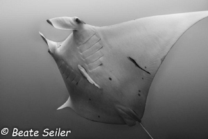 Manta ray by Beate Seiler
